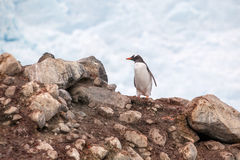 Gentoo penguin on a rock against cloud sky in Antarctica Royalty Free Stock Photo