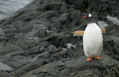 Gentoo Penguin on the Rocks Stock Images