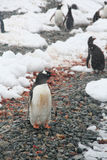 Gentoo penguin, on rocky beach Stock Photography