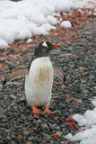 Gentoo penguin, on rocky beach Royalty Free Stock Photos