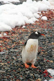 Gentoo penguin, on rocky beach Stock Images