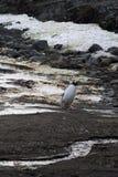 Penguin in Antarctica Stock Photography
