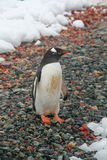 Gentoo penguin, on rocky beach Royalty Free Stock Images