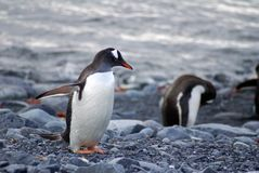 Gentoo penguin on a rocky beach Stock Images