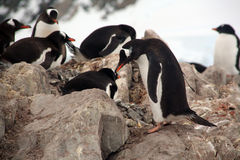 Gentoo penguin rookery Stock Photos
