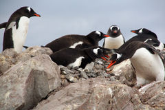 Gentoo penguin rookery, nesting on rocks, Stock Photos