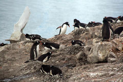 Gentoo penguin rookery, nesting on rocks, Royalty Free Stock Photography