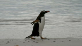 Gentoo Penguin is running on the beach stock video