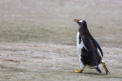 Gentoo Penguin, runs along Royalty Free Stock Photo