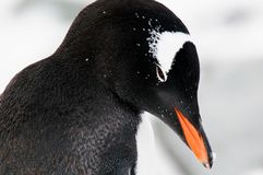 Gentoo penguin's head Royalty Free Stock Photos