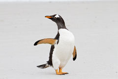 Gentoo penguin says hello Stock Images