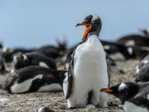 Gentoo penguin screams. Royalty Free Stock Photography