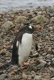 Gentoo penguin on shore Stock Photography