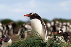 Gentoo Penguin is sitting in his nest Stock Photos