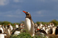 Gentoo Penguin is sitting in his nest Stock Image