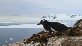 Gentoo penguin sitting in nest on a cliff on the background of the ocean and the mountains of the Antarctic Peninsula stock video