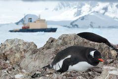 Gentoo penguin sitting in the nest and icebreaker in the backgro Royalty Free Stock Photo