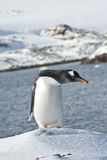 Gentoo penguin on a ski slope. Royalty Free Stock Photo