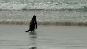 Gentoo Penguin is snorkeling in the ocean stock video