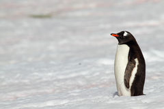 Gentoo penguin on snowfield, Antarctica Royalty Free Stock Image