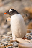 Gentoo penguin, South Georgia, Antarctica. The long-tailed Gentoo penguin (Pygoscelis papua) in South Georgia, Antarctica Royalty Free Stock Images