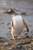 Gentoo penguin, South Georgia, Antarctica. The long-tailed Gentoo penguin (Pygoscelis papua) in South Georgia, Antarctica Royalty Free Stock Photos