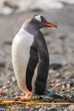 Gentoo penguin, South Georgia, Antarctica. The long-tailed Gentoo penguin (Pygoscelis papua) in South Georgia, Antarctica Royalty Free Stock Photography