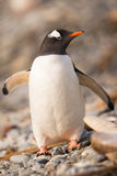 Gentoo penguin, South Georgia, Antarctica. The long-tailed Gentoo penguin (Pygoscelis papua) in South Georgia, Antarctica Stock Image