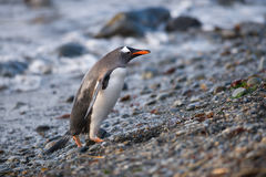 Gentoo penguin, South Georgia, Antarctica. The long-tailed Gentoo penguin (Pygoscelis papua) in South Georgia, Antarctica Stock Photos