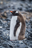 Gentoo penguin standing on grey shingle beach Royalty Free Stock Images