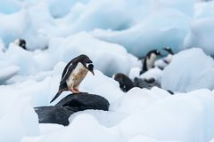 Gentoo Penguin standing on a rock amid beached icebergs, more penguins in the background, Cuverville Island, Antarctica royalty free stock images