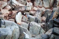 Gentoo penguin standing on rocks in Antarctica. Beautiful gentoo penguin standing on rocks in Antarctica stock photos