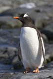 Gentoo penguin standing on the rocks 1 Royalty Free Stock Images
