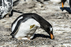 Gentoo penguin among the stones. Royalty Free Stock Images