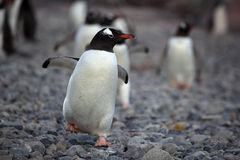 Gentoo penguin strolling down beach, Antarctica Stock Photography