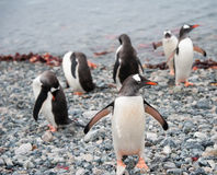 Gentoo penguin after swimming Stock Photos