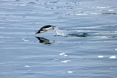 Gentoo penguin swimming and jumping in water mirrored, Antarctic Peninsula Stock Image