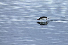 Gentoo penguin swimming and jumping in water mirrored, Antarctic Peninsula Royalty Free Stock Photo