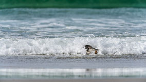 Gentoo penguin swims in the ocean. Royalty Free Stock Photography