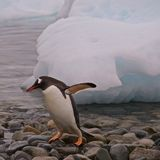 Gentoo Penguin Teen Playing by Himself in Antarctica Royalty Free Stock Photos