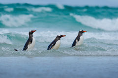 Gentoo penguin, three water bird in the ocean, swimming and jumping in the sea, Falkland Island Stock Photography