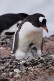 Gentoo Penguin with Two Chicks. Adult Gentoo penguin with two chicks on rocky nest Cuverville Island Antarctica Royalty Free Stock Image