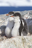 Gentoo penguin two chicks sitting in nest in anticipation of par Stock Photo