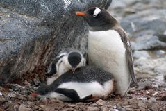 Gentoo penguin with chicks in Antarctica Royalty Free Stock Images