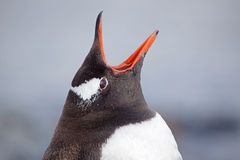 Gentoo penguin vocalizing, Antarctica Royalty Free Stock Photo