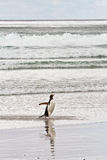 Gentoo penguin waddle out of the sea Stock Photo