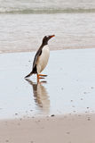 Gentoo penguin waddle out of the sea Stock Photos