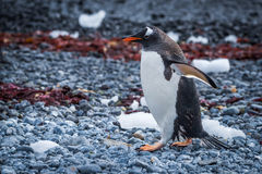 Gentoo penguin waddling along seaweed-strewn shingle beach Stock Photo