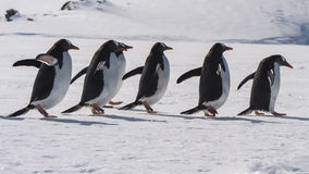 Gentoo Penguin walk on the snow Royalty Free Stock Images