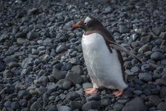 Gentoo penguin walking along black rocky beach royalty free stock image